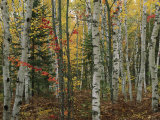 Birch Trees with Autumn Foliage Fotografisk tryk af Medford Taylor