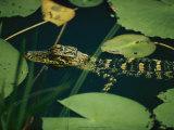 Juvenile American Alligator Fotografisk tryk af Farrell Grehan
