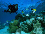 Taucher schwimmt neben Schmetterlingsfischen und Scherenschwanz-Sergeanten Fotografie-Druck von Tim Laman
