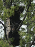 American Black Bear Cubs Climb a Lodgepole Pine Photographic Print by Michael S. Quinton