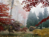 Several Japanese Maple Trees in the Fall Photographic Print by Darlyne A. Murawski