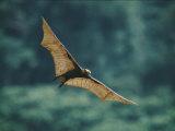 A Golden-Crowned Flying Fox in Flight Fotografisk tryk af Tim Laman