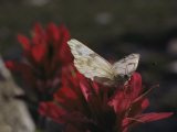A Pieris Butterfly Perches on an Indian Paintbrush Flower Fotografisk tryk af Paul Chesley