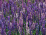 Lupines Growing Alongside Minnesotas U.S. Route 61 Fotoprint av Annie Griffiths Belt