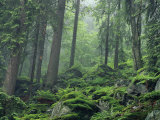 Moosbedeckte Felsen an einem bewaldeten Hang im Dunst Fotografie-Druck von Norbert Rosing