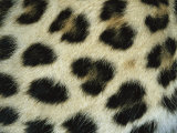 Close View of Persian Leopard Fur Markings Photographic Print by Jason Edwards
