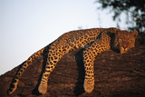 A Leopard, Panthera Pardus, Rests on a Large Tree Limb Lámina fotográfica por Beverly Joubert