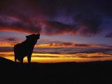 Silhouette of a Gray Wolf at Sunset Impressão fotográfica por Norbert Rosing