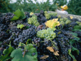 Grapes on a Vine in an Orchard in Umbria Photographic Print by Tino Soriano