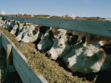 Cattle Lined-Up at a Trough to Eat Photographic Print by Joe Scherschel