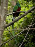 Male Resplendent Quetzal (Pharomachrus Mocinno) on a Tree Branch Fotografisk trykk av Roy Toft