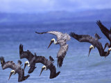Group of Brown Pelicans (Pelecanus Occidentalis) Diving into Water Stampa fotografica di Roy Toft