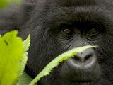 Mountain Gorilla (Gorilla Gorilla Beringei)Behind Green Leaves Fotografie-Druck von Roy Toft