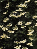 Pacific Dogwood Blossoms in Bloom Photographic Print by Marc Moritsch