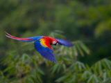 Colorful Scarlet Macaw (Ara Macao) in Flight Over Green Forest Fotografisk trykk av Roy Toft