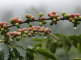 Close View of Coffee Beans with Dew Drops Stampa fotografica di Roy Toft
