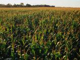 Field of Corn Near Aberdeen, Aberdeen, USA Fotografisk tryk af Rick Gerharter