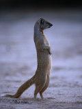 Yellow Mongoose, or Meerkat Standing on Its Hind Legs, Kgalagadi Transfrontier Park, South Africa Lámina fotográfica por Ariadne Van Zandbergen