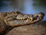 Nile Crocodile (Crocodylus Niloticus) in Profile, Paga, Ghana Fotografisk tryk af Ariadne Van Zandbergen