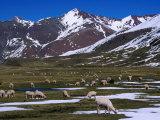 Alpaca Herd Grazing Quebrada Surapampa Valley Near Laguna Ausangatecocha, Cuzco, Peru Fotografie-Druck von Grant Dixon