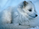 Close-Up of an Arctic Fox (Alopex Lagopus), Canada Photographic Print by Mark Newman