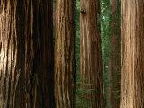 Coast Redwood Trees, Humboldt Redwoods State Park, USA Fotografisk tryk af Nicholas Pavloff