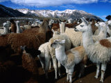 Llamas in a Corral in Umapallaca, Arequipa, Peru Photographic Print by Grant Dixon