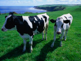 Cattle in Coastal Paddock Near Whitby, North York Moors National Park, England Lámina fotográfica por Grant Dixon
