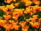 Californian Poppies, USA Fotografisk tryk af John Elk III