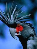 Black Cockatoo in Taman Burung Bali Bird Park, Batubulan, Indonesia Fotografisk tryk af Paul Beinssen