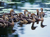 Plumed Whistling Ducks (Dendrocygna Eytoni), Australia Photographic Print by Mitch Reardon