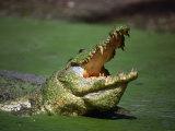 Nile Crocodile (Crocodylus Niloticus) at the Kachikaly Crocodile Pool, Bakau, Western, Gambia, The Fotografie-Druck von Ariadne Van Zandbergen
