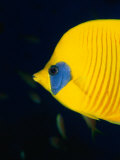 Masked Butterflyfish at Alternatives Reef in the Red Sea, Suez, Egypt Photographic Print by Mark Webster