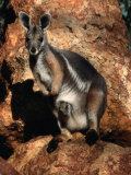 Yellow Footed Rock-Wallaby (Petrogale Xanthopus), Idalia National Park, Queensland, Australia Photographic Print by Mitch Reardon
