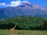 Lone Giraffe (Giraffa Camelopardalis) in Front of Mt. Meru, Mt. Meru, Arusha, Tanzania Fotografie-Druck von Ariadne Van Zandbergen