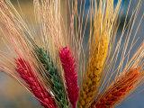 Tibetan Religious Offerings Made of Barley Wheat, Lhasa, Tibet, China Fotografie-Druck von Keren Su