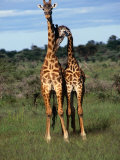 Male Giraffes (Giraffa Camelopardalis), Ngorongoro Conservation Area, Arusha, Tanzania Photographic Print by Mitch Reardon