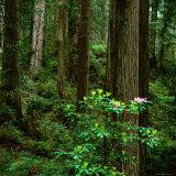 Rhododendron Bush in Front of Redwood Trees, Redwood National Park, USA Fotografisk tryk af Wes Walker