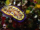Nudibranchs (Phyllidia Pustulosa) at Dreadlocks, Savusavu, Fiji Fotografie-Druck von Casey Mahaney