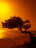 Lone Divi Divi Tree at Sunset, Aruba Reproduction photographique par Bill Bachmann