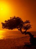 Lone Divi Divi Tree at Sunset, Aruba Photographic Print by Bill Bachmann
