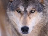 Gray Wolf in the Foothills of the Takshanuk Mountains, Alaska, USA Fotografisk trykk av Steve Kazlowski