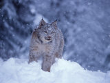 Lynx in the Snowy Foothills of the Takshanuk Mountains, Alaska, USA Stampa fotografica di Steve Kazlowski