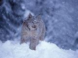Lynx in the Snowy Foothills of the Takshanuk Mountains, Alaska, USA Photographic Print by Steve Kazlowski