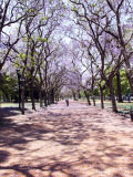 Jacarandas Trees Bloom in City Parks, Parque 3 de Febrero, Palermo, Buenos Aires, Argentina Photographic Print by Michele Molinari