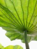 Lotus Leaf Texture Photographic Print by Michele Molinari