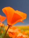 Poppies in Spring Bloom, Lancaster, California, USA Fotografie-Druck von Terry Eggers