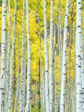 Aspen Grove, White River National Forest, Colorado, USA Fotografie-Druck von Rob Tilley