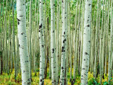 Bigtooth Aspen Trees in White River National Forest near Aspen  Colorado  USA