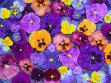 Pansy Flowers Floating in Bird Bath with Dew Drops, Sammamish, Washington, USA 写真プリント : ダリル・グリン